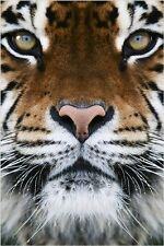 RARE ANIMAL PHOTO POSTER beautiful tiger face FAVE WALL DECOR wild cat 24X36
