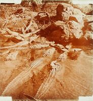 USA ETATS-UNIS Mississipi Crocodiles, Photo Stereo Plaque Verre ca 1910