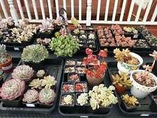 Succulent Leaf Cuttings/10 mixed unrooted/Echeveria/Sedum/Graptopetalum/Crassula