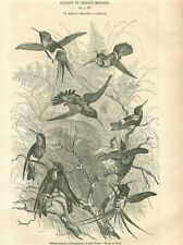 Humming-Bird Colibri delphinae Colibry Oiseaux-Mouches GRAVURE OLD PRINT 1853