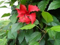 5 Hawaiian Red Hibiscus Flower Plant Cuttings, Free Offer Buy 2 get 1 Free