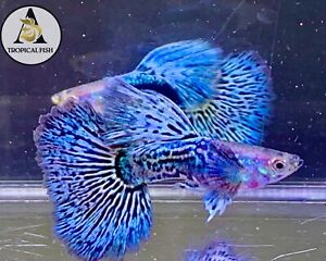 1 Pair- Blue Dragon Indo Live Guppy Fish Grade A High Quality VIP