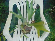 """Platycerium bifurcatum Mounted 6"""" wood basket Species Staghorn Fern 3 Plants"""