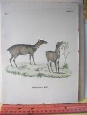 Vintage Print,MOSCHUS KANCHIL RAFFL,Early German Animals
