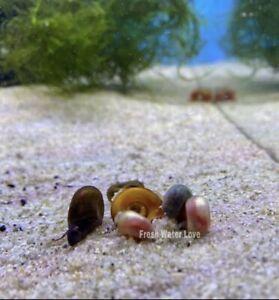 10 Mix Color Ramshorn Snails (Pink, Leopard Blue, Red and Blown Color Snails)
