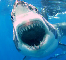 "GREAT WHITE SHARK WITH OPEN MOUTH POSTER 24"" x 43"" JAWS LARGE WALL POSTER PRINT"