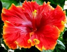 *Tahitian Orange Garnet * Rooted Tropical Exotic Hibiscus Plant*Ships In Pot*