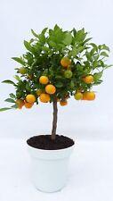 Calamondin inkl Pflanzkübel Orange Citrus Mitis 70-90 cm Orangenbaum Calamondino