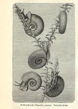 Stampa antica CHIOCCIOLA Planorbidae Planorbis corneus 1891 Old antique print