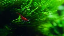 red cherry shrimp 10 piece