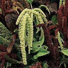 Amaranthus- Green Tail- 100 Seeds- Bogo 50% off Sale