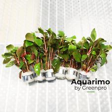 Alternanthera Reineckii Red Broad 6 Bundles Freshwater Aquarium Live Plant Tank