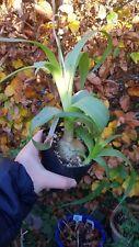 Ornithogalum longibracteatum whole pot