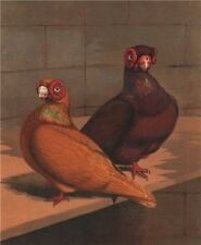 PIGEONS. Red & Yellow Barbs. Antique chromolithograph 1880 old print