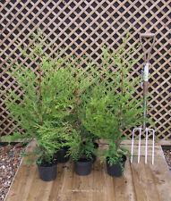 Hedging Conifer Green Leylandii Cupressocyparis  90 cm tall  x 5 plants