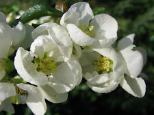 Scheinquitte Chaenomeles Nivalis 40-60cm Frühlingsblüher
