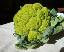 A 15 green cauliflower seeds VITAVERDE medium early, fertile variety