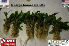 6 Large  Bronze Wendtii plants Easy Aquarium aquascaping planted tank low light