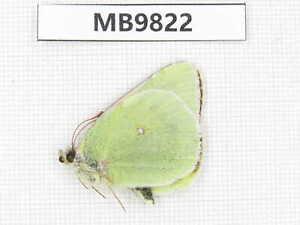 Butterfly. Colias diva ssp. Qinghai, Xunhua county, Mt.Dalijiashan.1M. MB9822.
