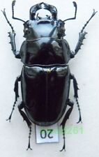 Mesotopus tarandus (Swederus, 1787) DR Congo 52mm20