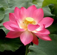 Pink Sacred Lotus Nelumbo Nucifera 5 seeds Not water lily CombSh