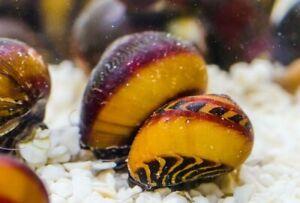 1 x Red Nerite Snail (Vittina waigiensis) Algae Eating Snail