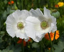 POPPY PAPAVER SISSINGHURST WHITE 1650 SEEDS