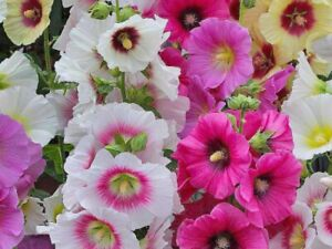 Seeds Hollyhock Mallow Spring Mix Giant Annual Flower Beautiful Organic Ukraine