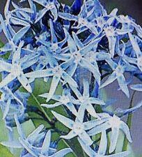 Amsonia tabernaemontana var. salicifolia -Eastern Blue Star in a 9cm pot