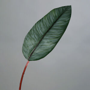 Stromanthe - Blatt