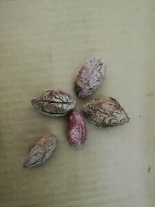 5 seeds of Terminalia Catappa, grow your own ketapang beneficial for shrimps
