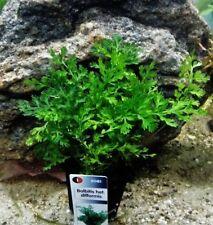 Bolbitis heteroclita DIFFORMIS-Mini Bolbitis Aquarium Plantes, Plantes aquatiques