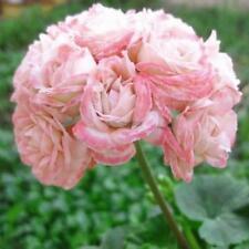 10pcs Rosebud Geranium Seeds Apple Blossom Pelargonium Potted Balcony