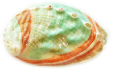 One Russian Abalone Shell (2.5-3
