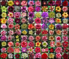 """NEW Adenium Obesum """"identified by color"""" 1,100 Seeds 100 Types!"""