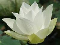 Bowl lotus/water lily flower /Bonsai Lotus / 5 Fresh seeds/White color