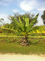 Ensete Superbum Seeds, Rock Cliff Banana Tropical Ornamental Tree Hardy Plant