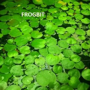 Amazon Frogbit  - Pond Plants - Local pickup 3072
