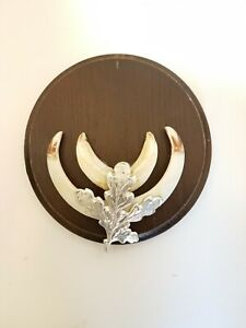 Taxidermy Wild Boar Tusks On Round Shield. Shield Is 12 cm Across. #4