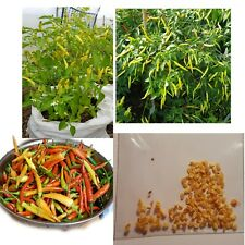 Organic Hot Chilli Pepper Cayenne Red 25 Seeds UK Seller, In Stock