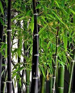 Rare Black Bamboo Seeds for Planting - 50+ Seeds - Grow Black Bamboo