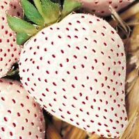 WHITE SOUL STRAWBERRY 100 SEEDS Fragaria vesca Containers Heirloom Non-GMO USA