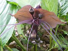 20 Plants Bulbs Tacca chantrieri, Black bat flower rare