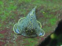 FREE FedEx SHIPPING Reticulated Hillstream Loach Aquarium Moss Java Shrimp Algae