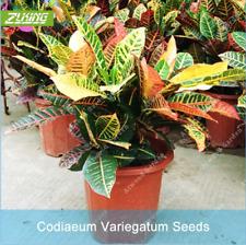100Pcs Codiaeum Variegatum Flower Seeds Rare Perennial Bonsai Decor For Home