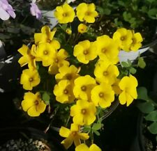 50 pcs flower seeds Bermuda Buttercup Oxalis pes-caprae