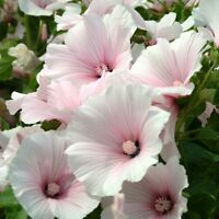 Lavatera - Dwarf Pink Blush - 100 Seeds