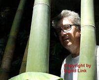 winterhart: toller Riesen-Bambus für den Garten ! Kann 20 Meter hoch werden !