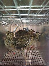 10 Jumbo Brown Coturnix Quail Hatching Eggs