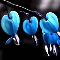 FD3014 Perennial Herbs Dicentra Spectabilis Flower Plant Bleeding Seed Blue x10♫